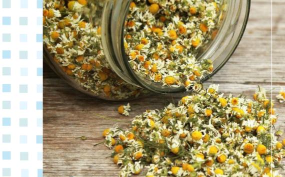 Camomila – a erva mãe